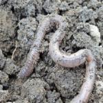 有機物を分解し、酸性となった土を改善してくれるミミズ